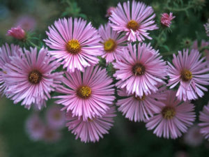 Aster novae-angliae Harrington's Pink New England Aster