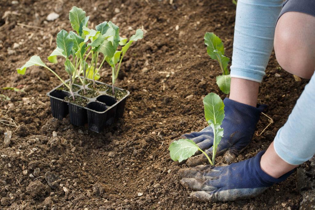 Gardener planting cauliflower seedlings in freshly ploughed garden beds.