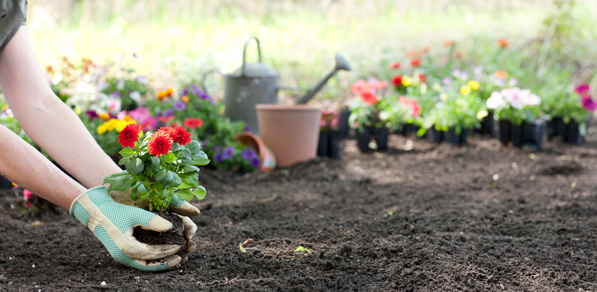 gardener plants out dahlias
