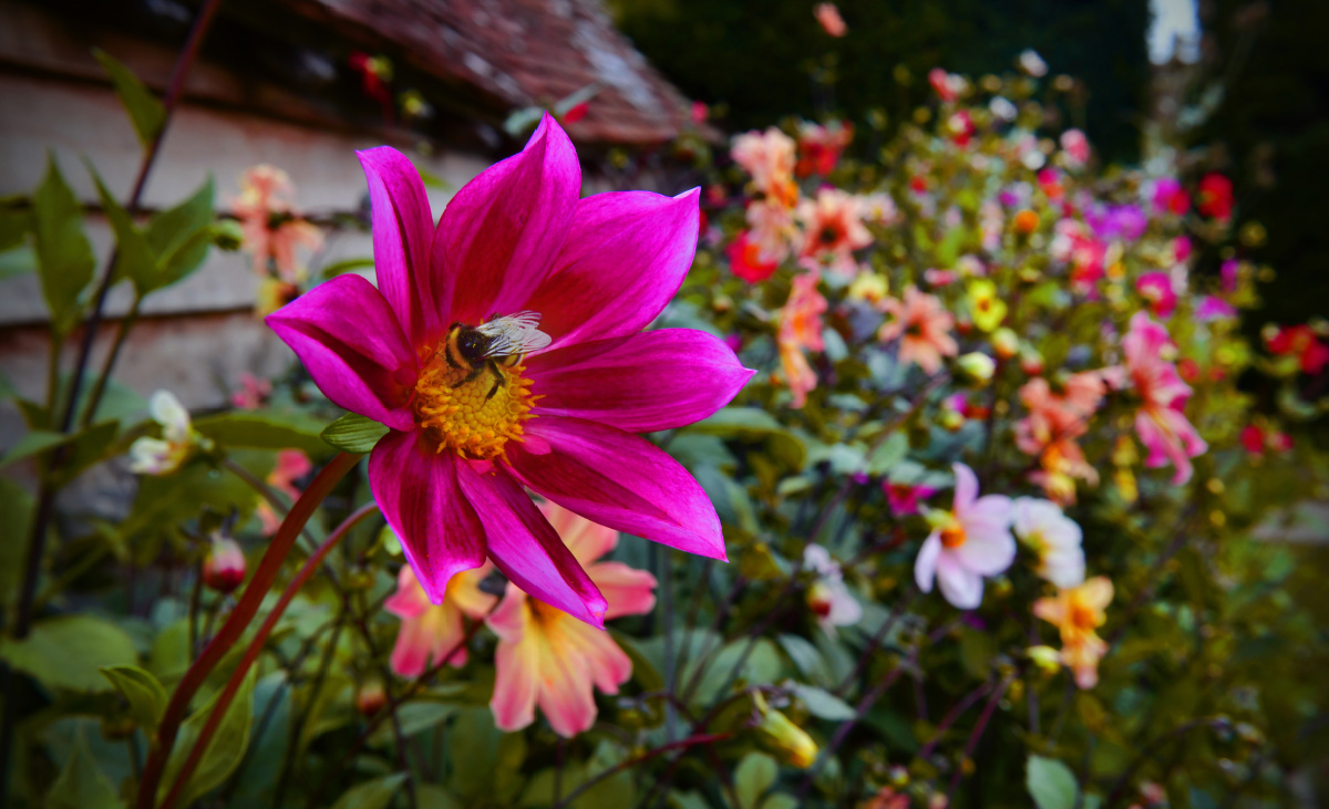 Bee sits on the pollen of a bright pink dahlia flower