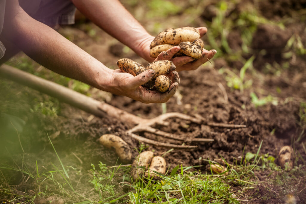 Digging out potatoes from the earth